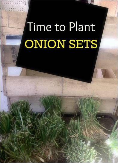 onion sets update
