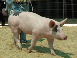 Weight Gain in Pigs