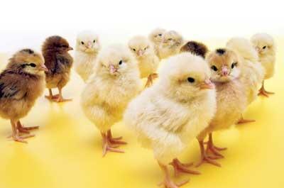 baby chicks 3