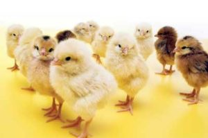 chick deliveries
